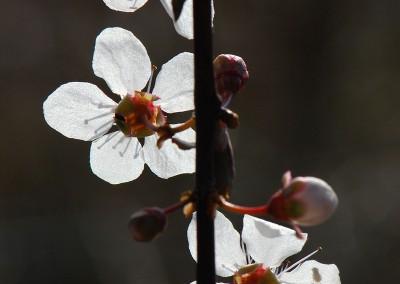 Blüten Blutpflaume
