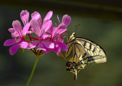Schmetterling mit Blüte