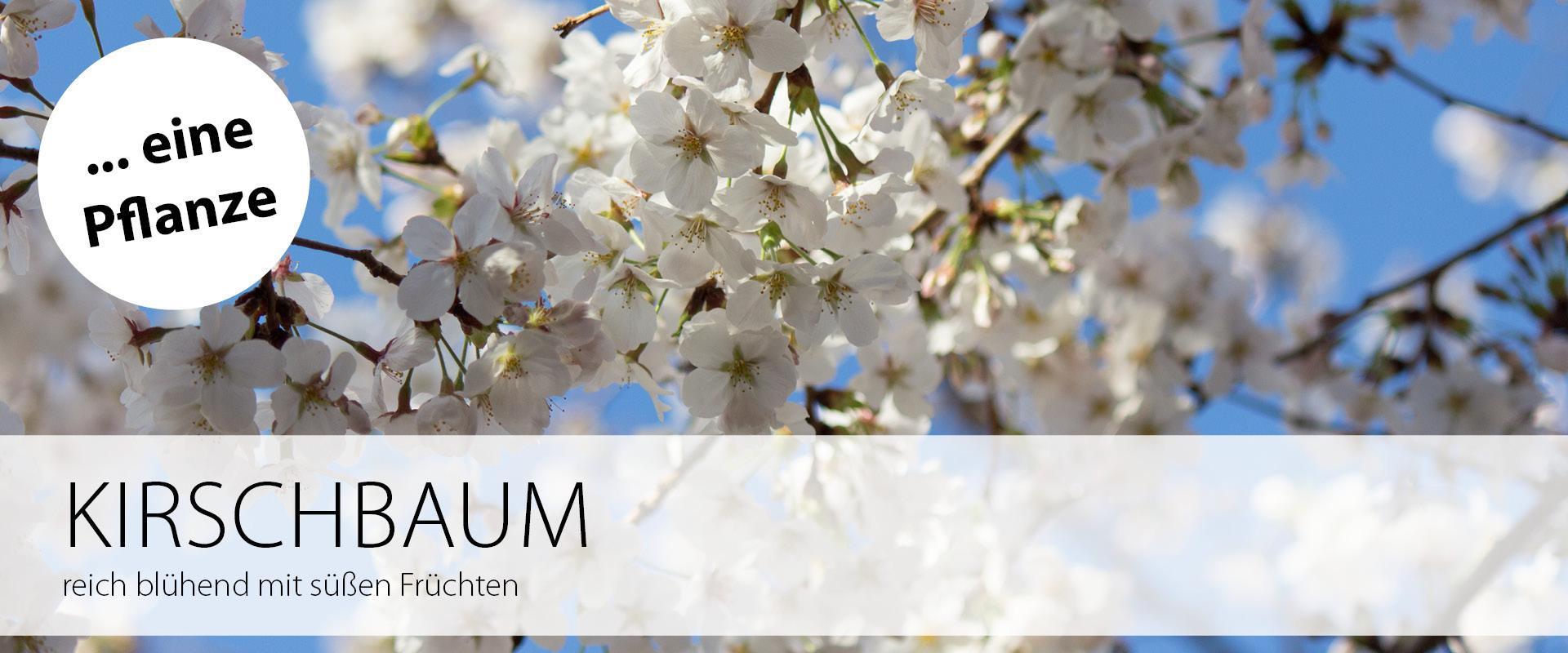 Eine Pflanze: Kirschbaum